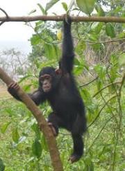 Chimpanzee Tracking Kibale National Park Uganda's best primate park