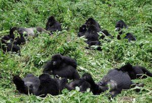 Mubare Gorilla Family in Buhoma