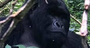 Gorilla Trekking Batwa Trail Mgahinga Park Uganda