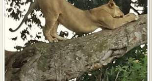 Tree Climbing Lions in Ishasha Sector