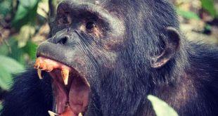 Chimpanzee Tours