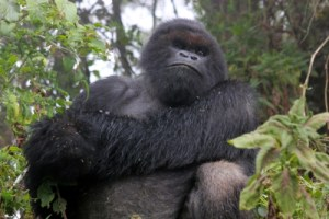 Gorilla Habituation Experience