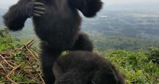 Visit Gorillas in Uganda