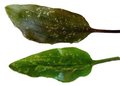 Feeding on leaves received Surippusu