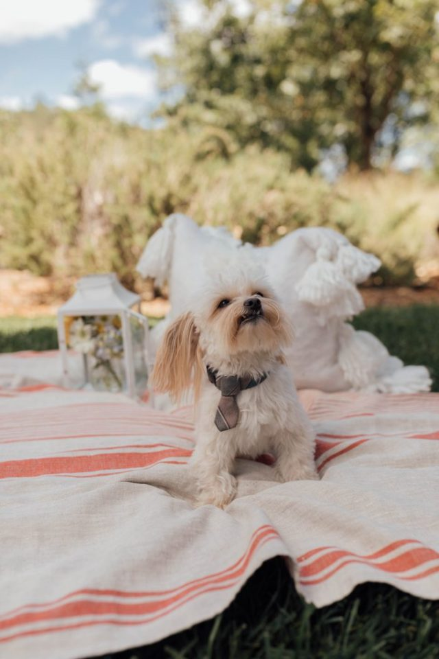 Benji, Dog, Rescue Dog, Small White Dog, Dog Tie, Dog at a picnic, Napa, Wine Country, KatWalkSF, Kathleen Ensign, Kat Ensign, Travel Blogger