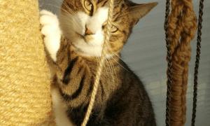 Katzensitter, GOLD CAT Katzenbetreuung Hamburg, Catsitter, Katzensitting, Tierbetreuung, Urlaubsbetreuung, Tiger beim kratzen aus Hamburg Sasel