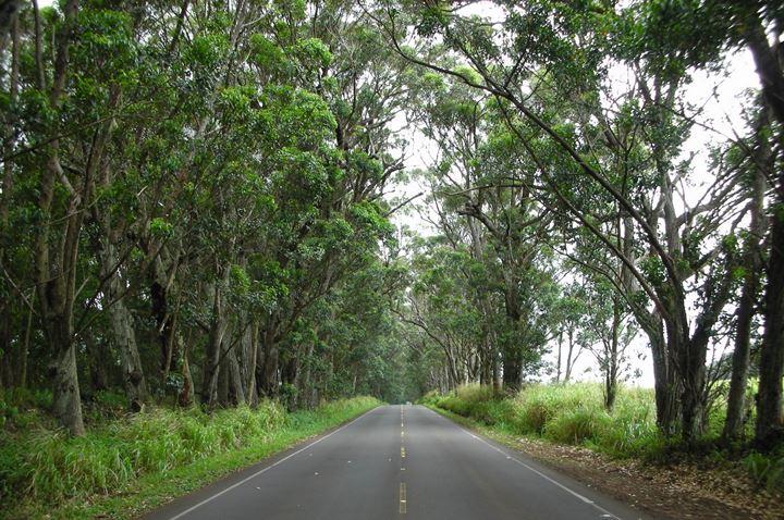 Tree Tunnel Kauai Com