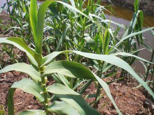 Arundo growing along a ditch-small