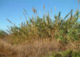 Arundo infestation in Kekaha