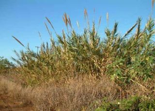 Arundo infestation in Kekaha