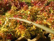 Barbados gooseberry varigated leaves-resized