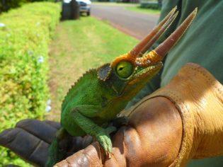 Captured male Jacksons Chameleon-resized