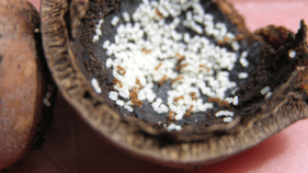 LFA colony inside a macadamia nut shell
