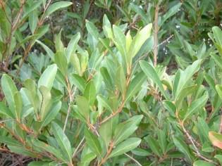 Fiddlewood leaves