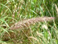 Fountain Grass seedhead-resized