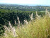Fountaingrass above Kalaheo-resized