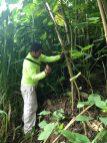 Manual removal of False Kava