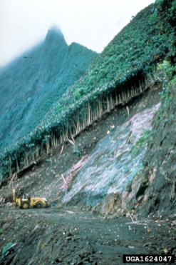Miconia causing erosion in Tahiti