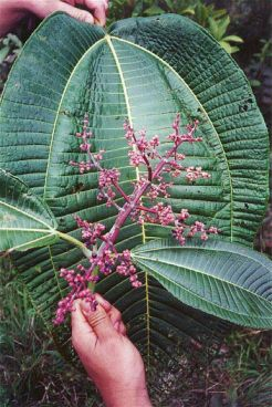 Miconia leaves and inflourescense
