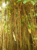 Seasonvine aerial roots