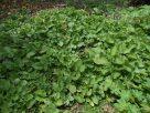 Small patch of false kava