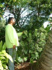 Wax Myrtle shrub