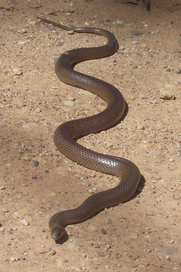 Eastern brown snake naglebie
