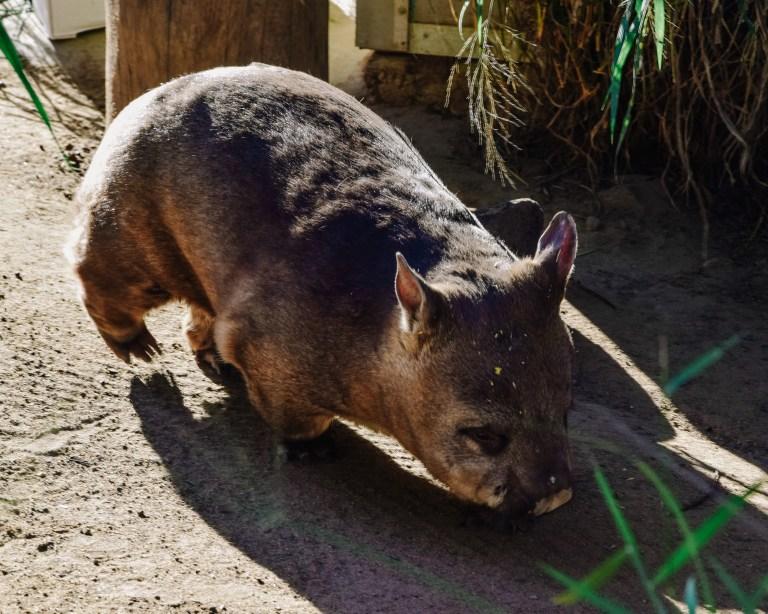idący wombat