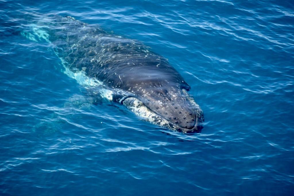 Humbpack wieloryb długopłetwiec oceaniczny