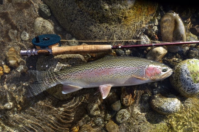 27 Inch Native Rainbow Upper Kings River Nov 11, 2019