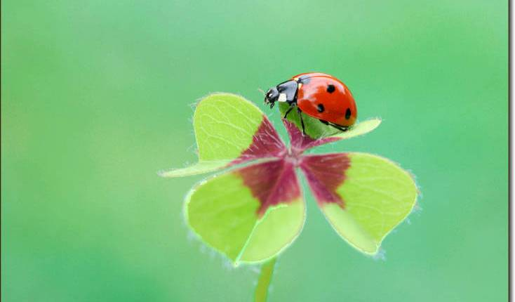 ladybugs-luck