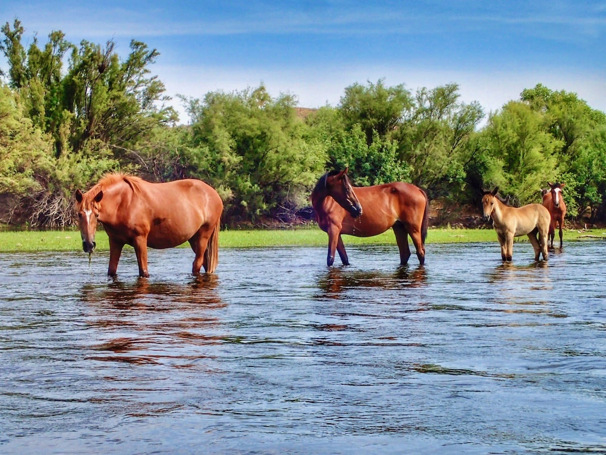 Salt River wild horses standing in the river