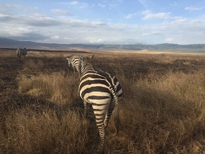 back of a zebra as it walks away with brows grass and blue sky