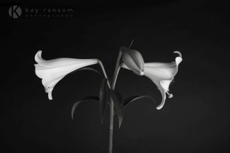 Lily black background