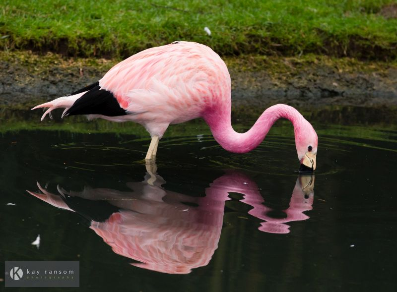Stock imagery for sale Slimbridge Flamingo