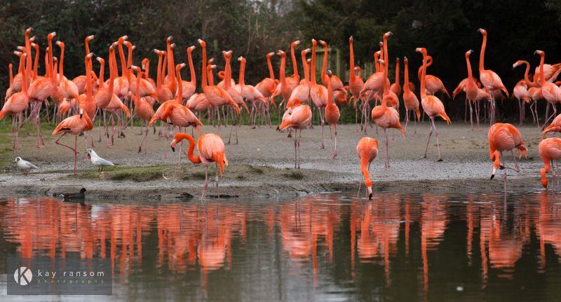 Stock imagery for sale Slimbridge Flamingo