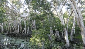kayudolken.top | Tampak Tinggi Pohon dolken gelam