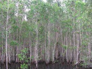 kayudolken.top | Pohon Dolken Gelam
