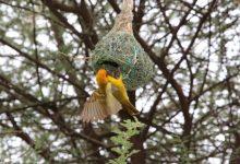 Photo of Ptice pletilje i njihova gnijezda