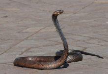 Photo of Od ugriza zmije svaki dan u svijetu umre oko 200 osoba