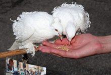 Photo of Zaljubljeni golubovi poziraju turistima