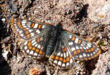 Photo of Naučna ekspedicija na planini Agri pronašla drevnu vrstu leptira