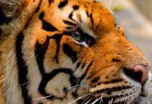 Photo of Život bengalskog tigra