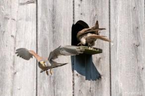 Turmfalke | Falco tinnunculus | Start