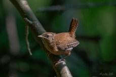 Zaunkönig | Troglodytes troglodytes