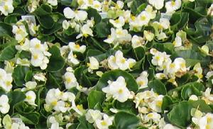 Begonia Super Olympia, green leaf
