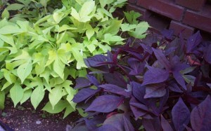 Potato Vine, green and purple
