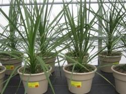 Spike plant
