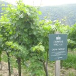 Grüner Veltlener Grapes in Vineyards in Danube River Valley, Dürnstein