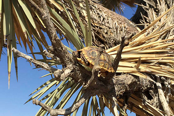 A raven carried this juvenile tortoise up onto a Joshua Tree and ate it. A few weeks before this photo was taken the tortoise had been alive. | Photo: Courtesy Dr. Berry.